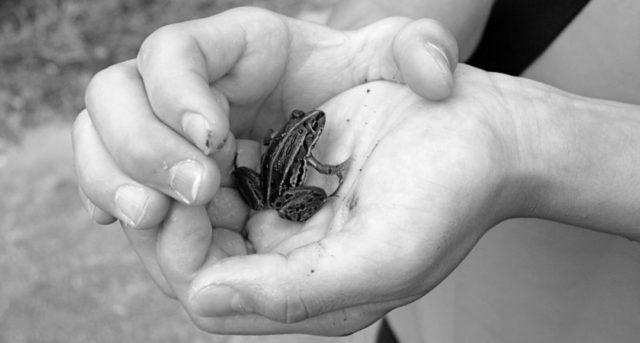 手の中のカエル 小さなカエル