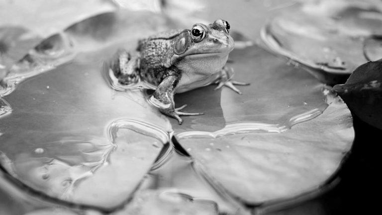 カエル 蓮の葉 池
