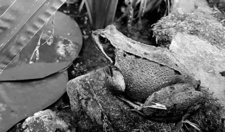 動かないカエル 大きいカエル