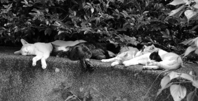 昼寝をするたくさんの猫