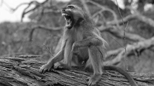 猿 威嚇 凶暴