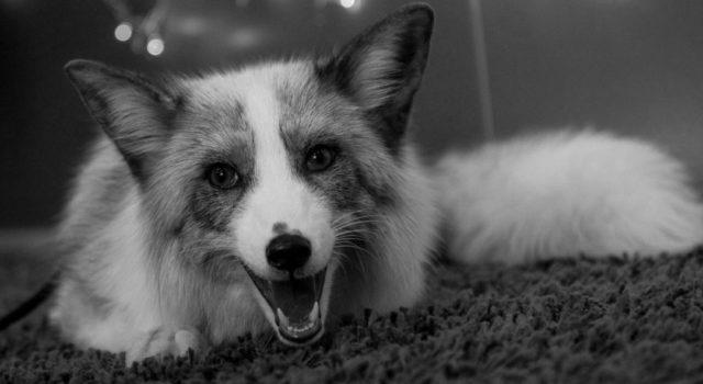 しゃべる狐