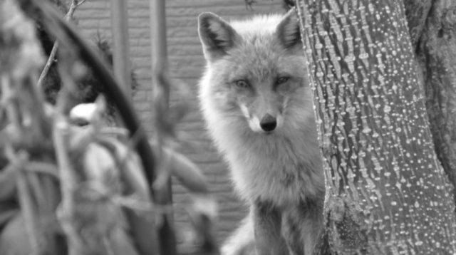 狐 覗く 睨む