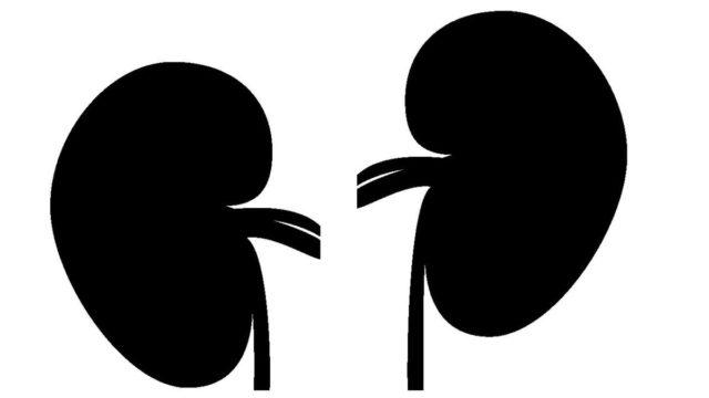 腎臓のシルエット