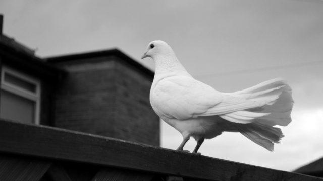 白鳩 ベランダ