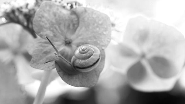 カタツムリ 紫陽花