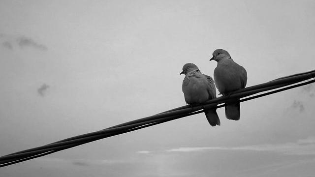 鳩のつがい