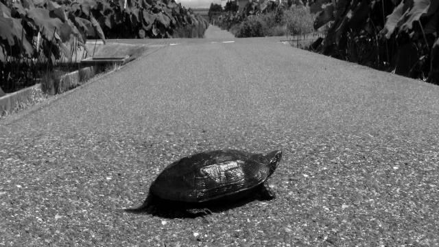 道路を歩く亀