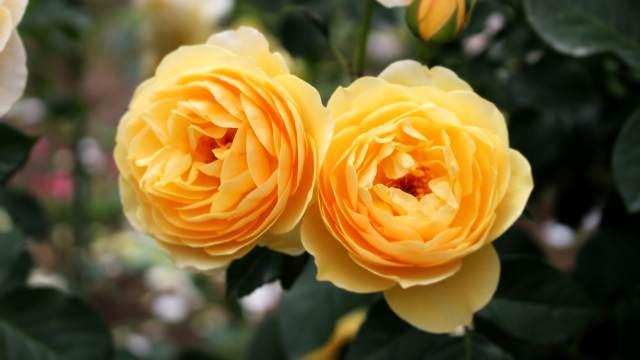 薔薇 バラ 黄色
