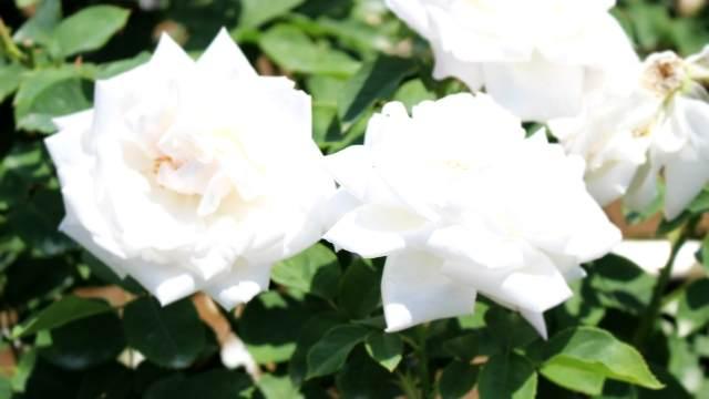 薔薇 バラ 白