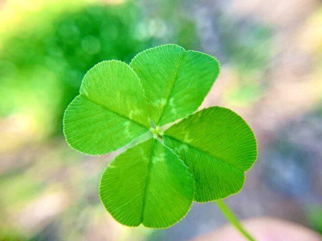 四つ葉のクローバー 幸運