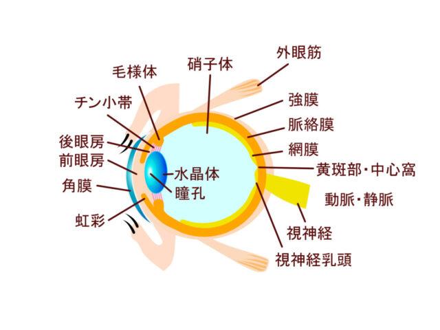 目の構造 視神経 外眼筋 角膜 水晶体 硝子体