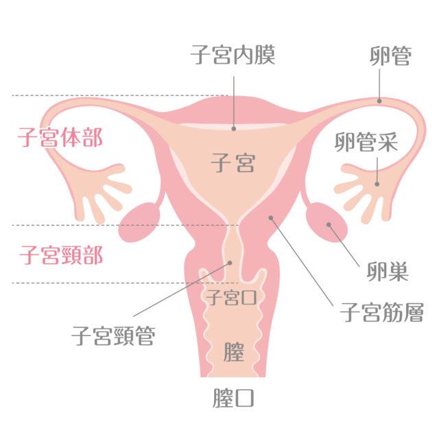 子宮のイラスト