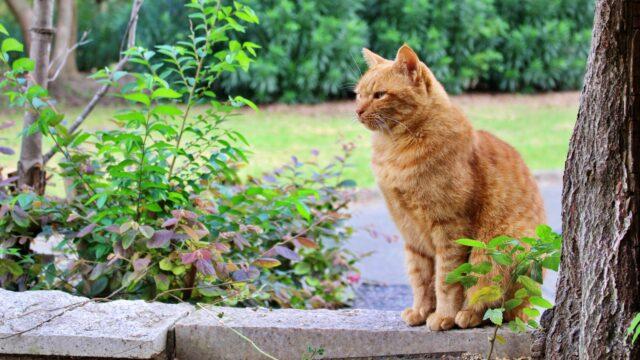 野良猫 茶トラ猫