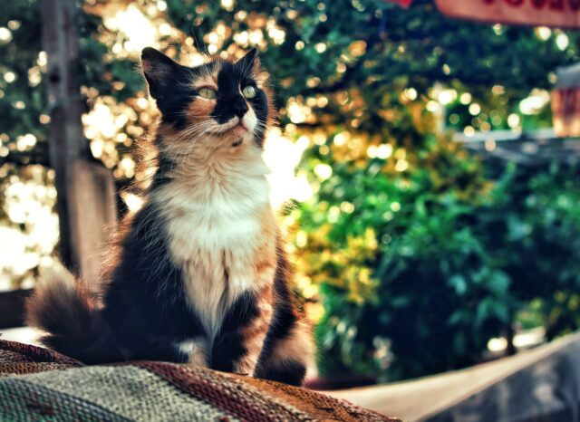 三毛猫 夕日 木漏れ日 木 自然