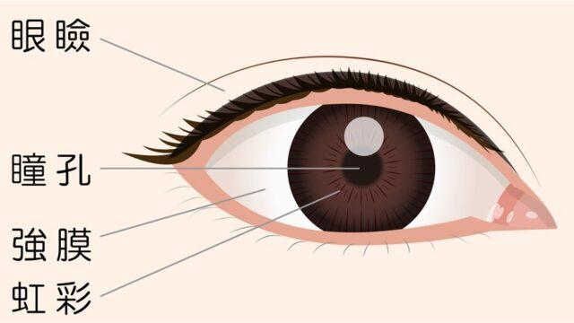 目の構造 瞳 瞳孔 虹彩