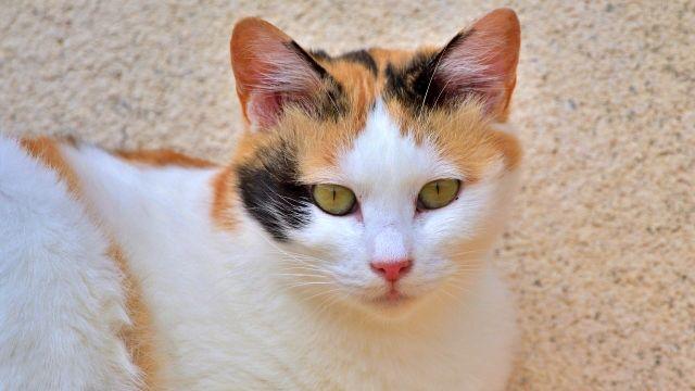 三毛猫 野良猫