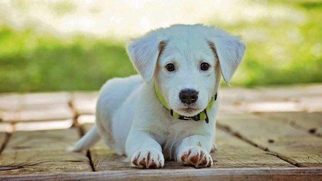 白い犬 子犬