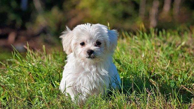 白い犬 子犬 マルチーズ
