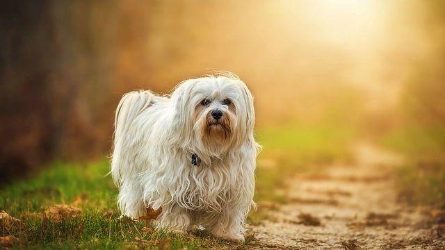 白い犬 田舎道 夕方